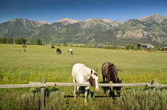 Horses in Wyoming. Group of horses and mountains in the background in Wyoming near Jackson Hole Royalty Free Stock Images