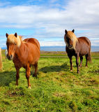 Horses with yellow  manes Royalty Free Stock Images