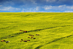 Horses in Yellow rapeseed field. Beautiful scene, with an horses amidst golden yellow canola, rapeseed or colza field on a summer Stock Photography