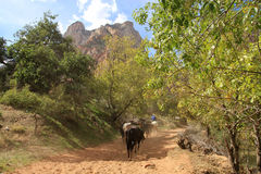 Horses in Zion Canyon. Horses ride in Zion Canyon  national park in USA Stock Photo