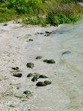 Horseshoe крабы на насыпи черепахи Стоковые Фото