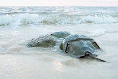 Horseshoe крабы сопрягая на пляже стоковые изображения rf