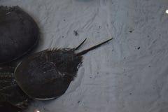 Horseshoe крабы Стоковое Фото