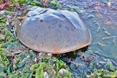 Horseshoe краб в морской водоросли Стоковое Фото