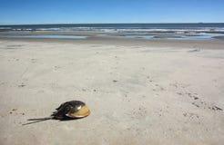 Horseshoe краб, который сели на мель на пляже океана стоковое изображение