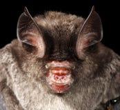Horseshoe Bat portrait. Detailed portrait of a bat Royalty Free Stock Photo