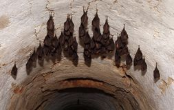 Horseshoe bats Stock Image