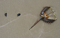 Horseshoe crab. With mussel shells Royalty Free Stock Photo