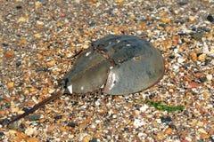 Horseshoe Crab. Ancient horseshoe Crab on pebble beach royalty free stock image