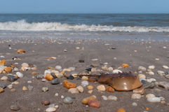 Horseshoe Crab. On Broadkill Beach Royalty Free Stock Photos