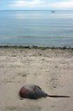 Horseshoe crab Royalty Free Stock Images