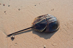 Horseshoe crab Stock Photos