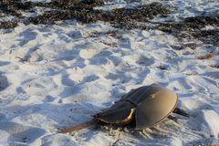 Horseshoe crab ashore on beige silica sand beach. Coastal Falmouth Massachusetts yields beaches with seaweed and horseshoe crab carapaces.  The dead exoskeleton Royalty Free Stock Images