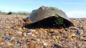 Horseshoe crab with barnacles . Royalty Free Stock Photography