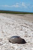 Horseshoe Crab at Beach Royalty Free Stock Images