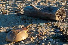 Horseshoe crab on the beach Stock Photos