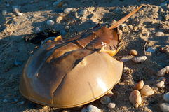 Horseshoe crab on the beach. An horseshoe crab on a beach in Long Island (NY Stock Photos