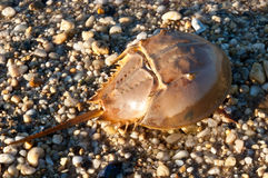 Horseshoe crab on the beach Stock Image