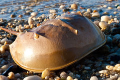 Horseshoe crab on the beach Royalty Free Stock Images
