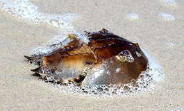 Horseshoe Crab on Beach - New Jersey. Horseshoe crab found on beach along Delaware Bay, New Jersey Stock Images