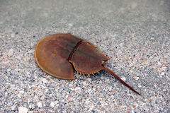 Horseshoe crab on beach Stock Images