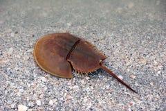 Horseshoe crab on beach Stock Images