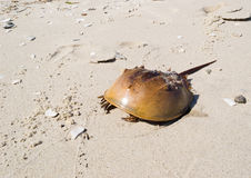 Horseshoe Crab Carapace. Horseshoe Crab (Limulus polyphemus) carapace and exoskeleton after molting on the shore of the Chesapeake Bay, near Lusby, Maryland USA Royalty Free Stock Photography