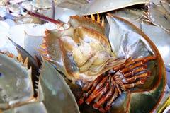 Horseshoe crab. Royalty Free Stock Photos