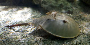 Horseshoe Crab Royalty Free Stock Photography