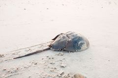 Horseshoe crab crawling back to the ocean. On the beach on Delaware Bay at sunrise Royalty Free Stock Photo
