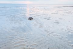 Horseshoe crab crawling back to the ocean. On the beach at low tide on Delaware Bay at sunrise Stock Images