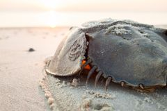 Horseshoe crab crawling back to the ocean. On the beach on Delaware Bay at sunrise Stock Photo