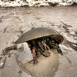 Horseshoe Crab Crawling on Sand Beach. Horseshoe crab arthropod with moving claws on legs under carapace crawling and struggling on a sand beach with crashing royalty free stock photo