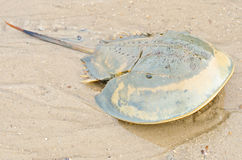 Horseshoe crab dead. Stock Image
