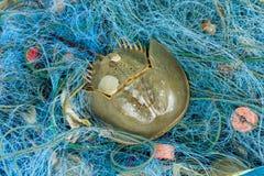 The Horseshoe crab Royalty Free Stock Photos