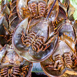 Horseshoe crab Stock Photography