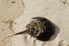 Free Horseshoe Crab In Sand Royalty Free Stock Photos - 32975628
