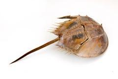 Horseshoe Crab on isolated Royalty Free Stock Photo