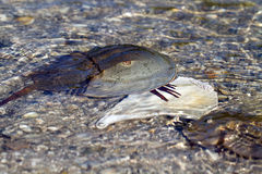 Horseshoe Crab, Limulus polyphemus Royalty Free Stock Photo