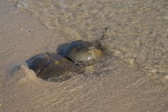 Horseshoe crab (mating) Stock Image