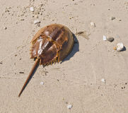 Horseshoe Crab Molted Exoskeleton Royalty Free Stock Image