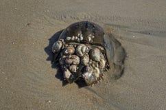 Horseshoe Crab Royalty Free Stock Photos
