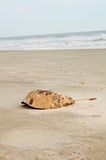 Horseshoe Crab Shell Stock Photos
