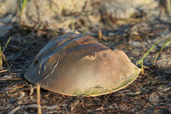 Horseshoe crab shell Stock Photography