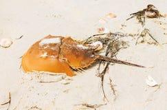 Horseshoe crab shell on a beach Stock Photos
