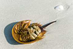 Horseshoe crab shell in florida Stock Photos