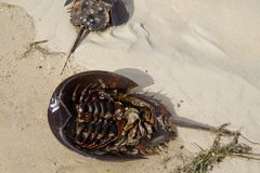 Horseshoe Crab Upside Down Stock Photos