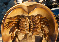 Horseshoe crab ventral closeup. An horseshoe crab on a beach in Long Island (NY Royalty Free Stock Photography