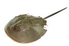 Horseshoe crab Stock Image