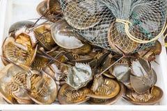Horseshoe crab Stock Images
